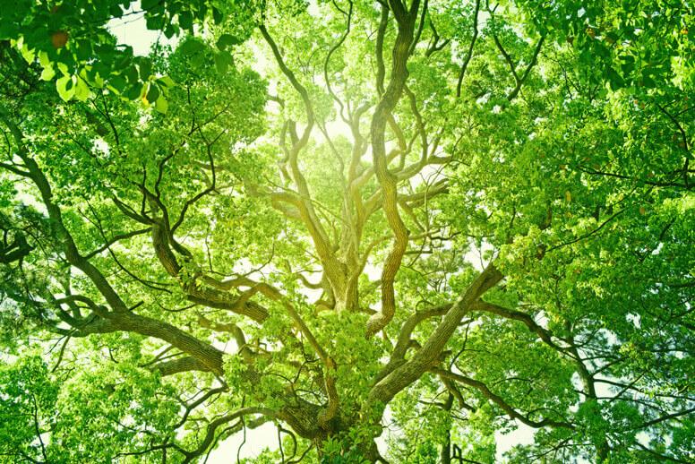 Sehr großer grüner Baum